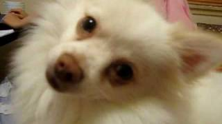 Tofu The Pom X Chihuahua