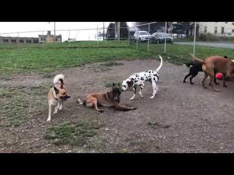 Belgian Malinois playing with other dogs at the dog park