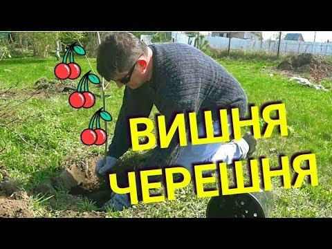 Как правильно посадить вишню и черешню весной. Все секреты. | правильно | деревьев | черешня | черешни | посадка | сажать | сажаем | дерево | весной | плодо