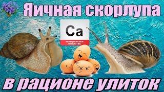Кальций для улиток ахатин (аchatina). Обычная яичная скорлупа. Как приготовить и кормить