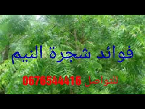 اسماء شجرة النيم في المغرب وفوائدها العجيبه Youtube