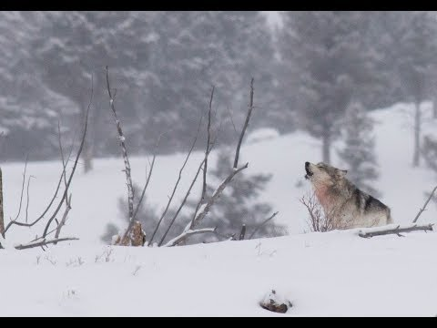 Winter Safari in Yellowstone - Wolf