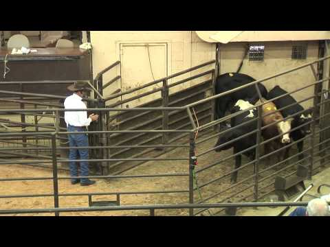 Working Groups of Cattle and Positioning Yourself Correctly