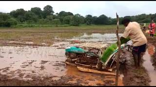 Paddy Cultivation Goa at my farm