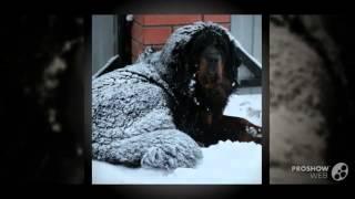 Тибетский мастиф порода собак