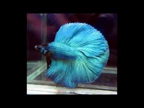 Beautiful betta fish youtube for Most beautiful betta fish