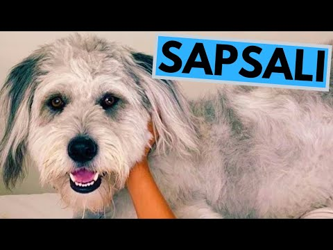 Sapsali Dog Breed - Facts and Information