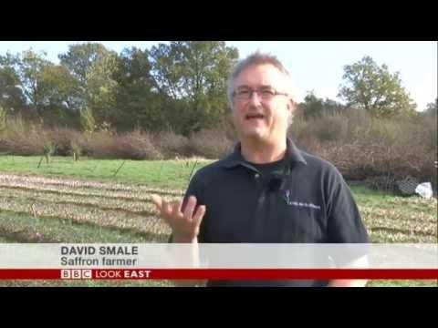 BBC News Look East: Saffron crocus returns to Saffron Walden