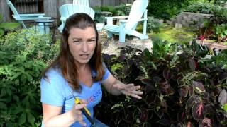 How to Trim Leggy Coleus Flowers