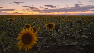 Relaxing Night in Nature Beside the Sunflower Field with Crickets Singing and Light Wind Sounds