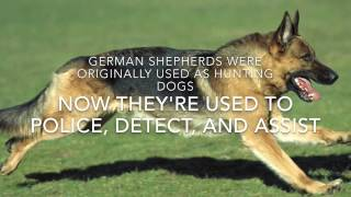 Fun Facts About German Shepherd Dogs Episode 14