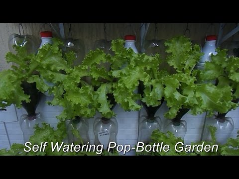 Self Watering Pop Bottle Garden! You Got To See This!
