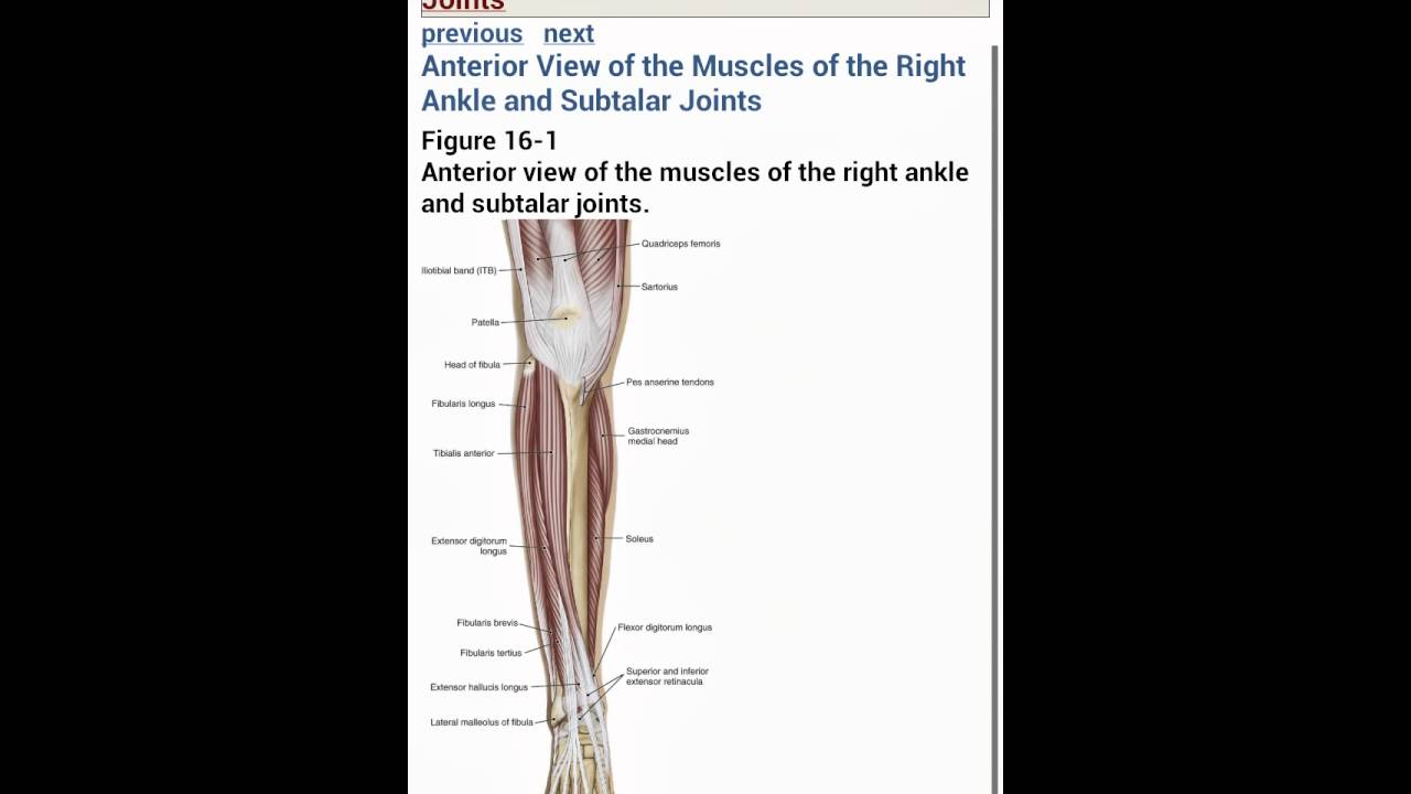 Free Anatomy App: The Muscular System Manual - YouTube