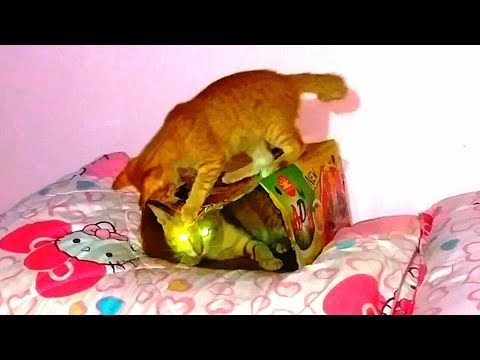 Funny Cats and Kittens Meowing Video 2018 - Cats meowing  Play with Box