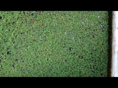 Azolla Cultivation (Culture Available)