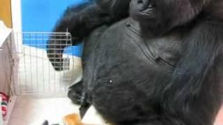 Koko Gets a Kitty Visit