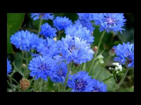Василек синий, вид семейства Астровые