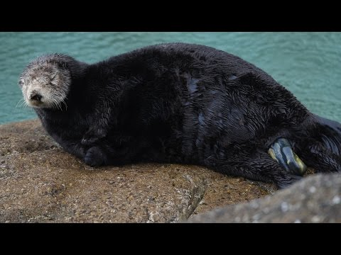 watch-a-baby-sea-otter-being-born!-(spoiler-alert:-the-miracle-of-life-is-graphic!)