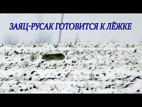 Редкие кадры! Как Заяц-Русак готовится к лежке зимой!