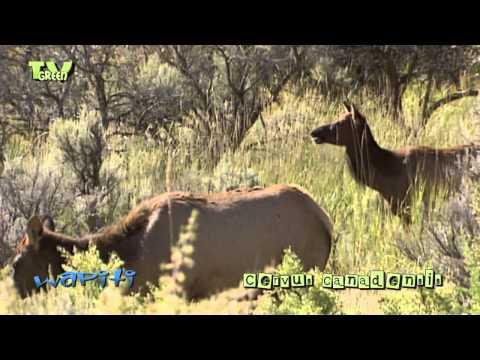 Wapiti rut in Yellowstone National Park - elk - cervus canadensis #10