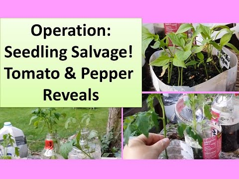 Operation Seedling Salvage! Ridiculously Late Tomato Seedling Reveal + Strange Pepper Reveal