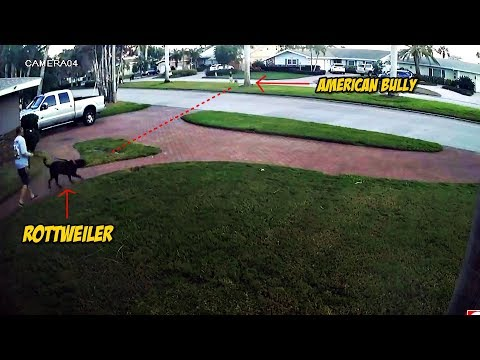 Rottweiler vs American Bully: Cuando dos perros Poderosos se Encuentran
