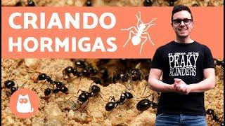 ¿Cómo empezar una colonia de hormigas? | Criando hormigas