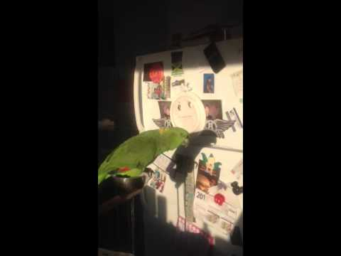Amazon parrot and cockatoo talking