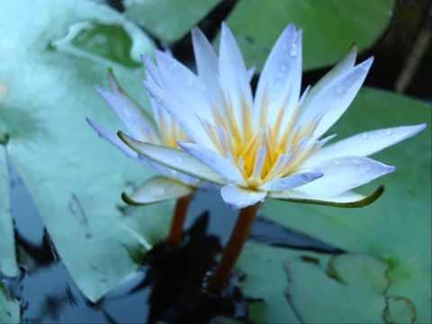 Imbranato Tiziano ferro flor de lotus