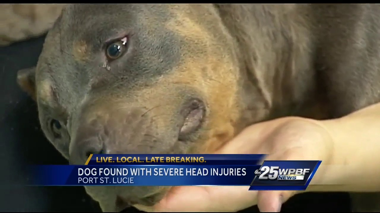 Dog Badly Bitten May Have Been Used As Bait In Pit Bull Fighting