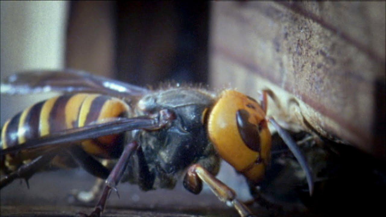 giant asian hornet tacoma washington