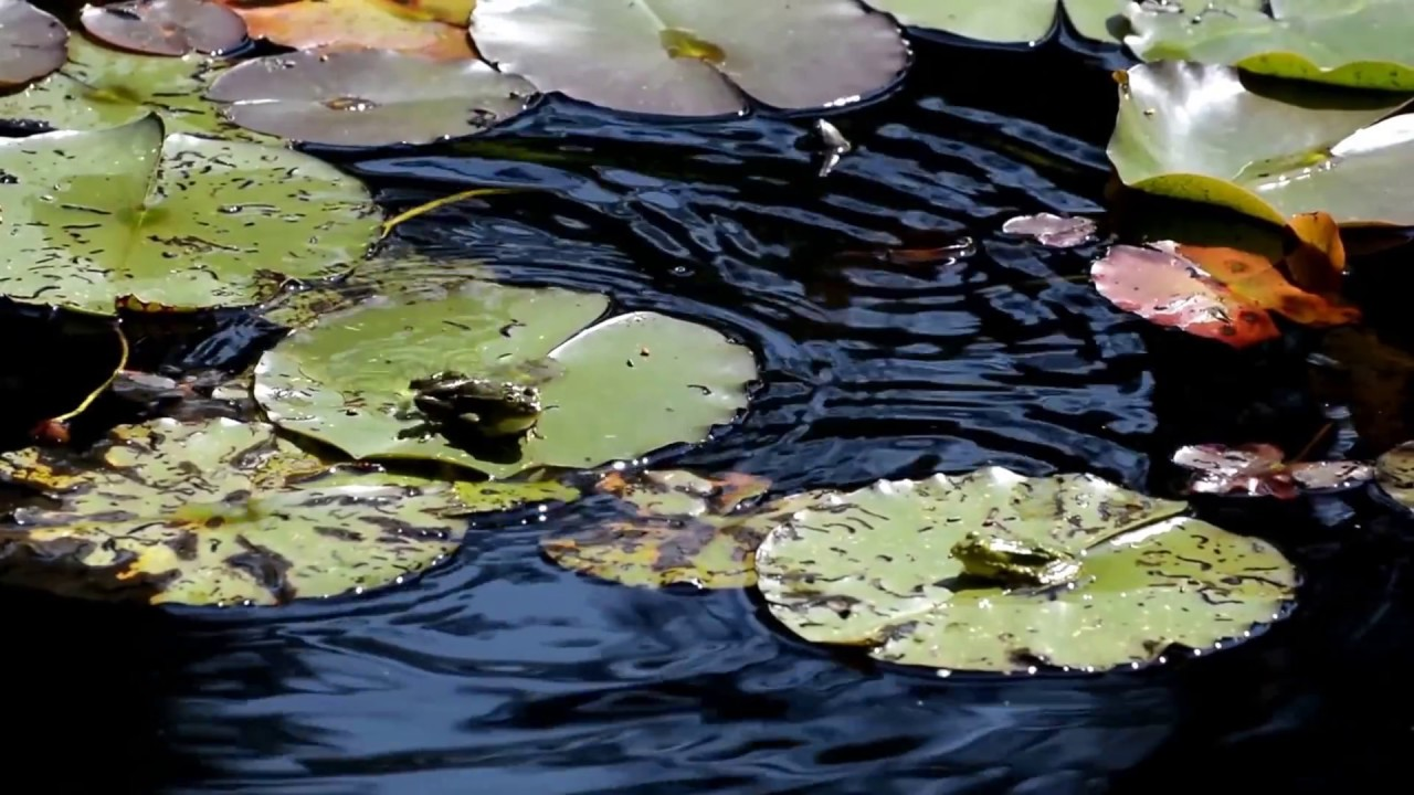2 Frogs On Lily Pads, 1 Hops - YouTube