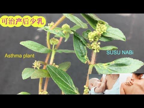 印度和美国如何用飞扬草。 Benefits of Euphorbia hirta (asthma plant).pokok ARA TANAH atau SUSU NABI.