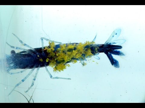 Quarantine Set-up Part 3, Shrimp Disease