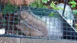 Trapping Squirrels eating my Rabbit Food (Round 1)