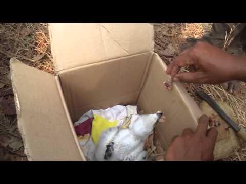 Anak Burung Elang Lagi Makan