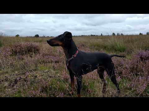 Chester the Manchester Terrier in Drenthe