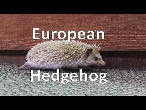 European Hedgehog (Scovill Zoo) - Episode 207