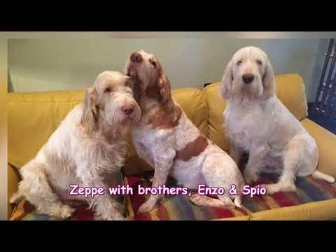 Zeppe The Spinone Italiano