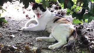 激おこやんw かわいい三毛猫動画
