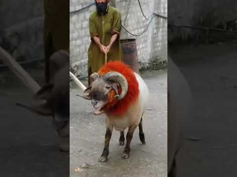 House of sheep pakistan