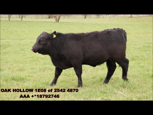Oak Hollow Angus Lot 7