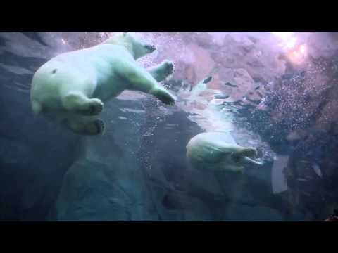 Underwater with polar bear cubs at Journey to Churchill