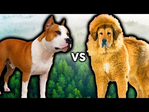 AMERICAN STAFFORDSHIRE TERRIER VS TIBETAN MASTIFF! The Best Guard Dog Breed For First Time Owners!