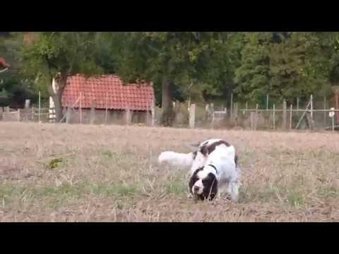 Maja Nowak Hundeliveshow Detmold am 9.12.2016 - Springer Spaniel-Mix: Moon
