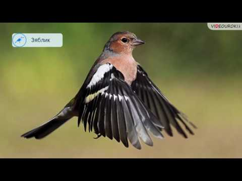 Вопрос: Какие птицы зимуют в Западной Сибири?