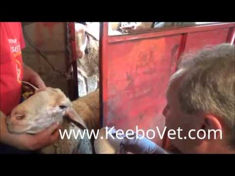 Collecting Blood From Sheep For Brucellosis Test, Perform By Veterinarian Doctor