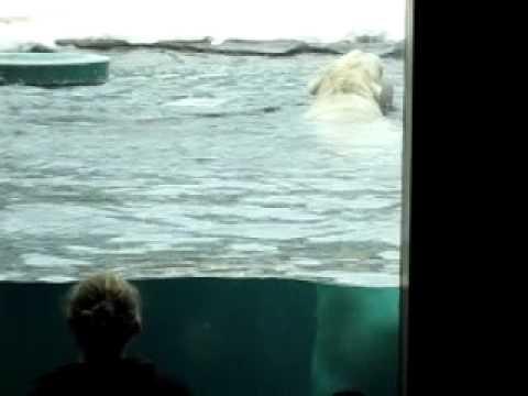 Erin Yuhan Mei - polar bear at Minnesota zoo