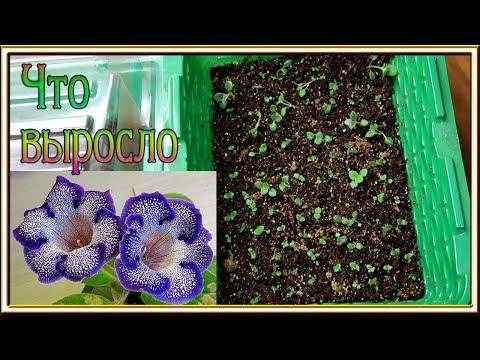 Глоксинии из семян ЧТО ВЫРОСЛО / Пересадка