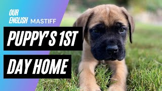 Our English Mastiff Puppy Dog Reacts to his First Day Home with his New Family
